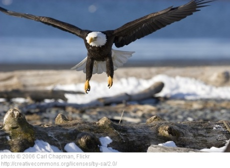 eagle landing on beach