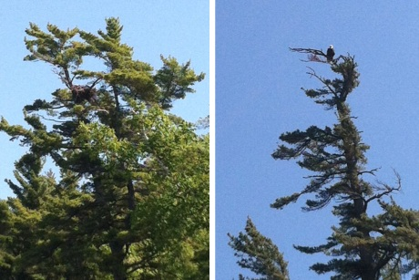 Eagle's nest on the left and adult eagle perched on the right.