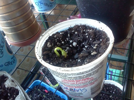 One lone bean sprouts in my makeshift indoor garden.